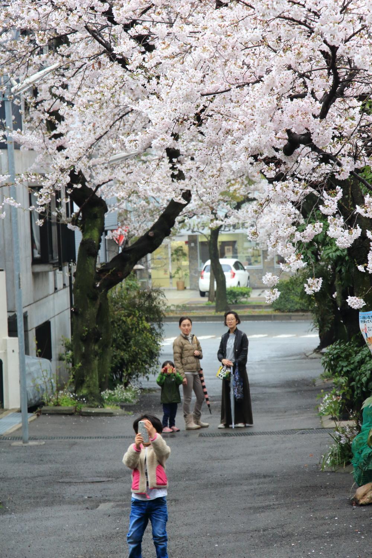 弓弦羽神社前の桜のトンネル