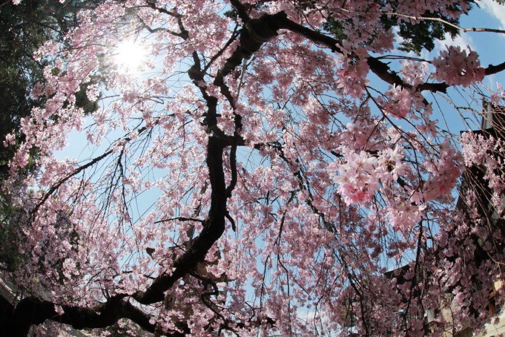 桜 魚眼レンズで撮影