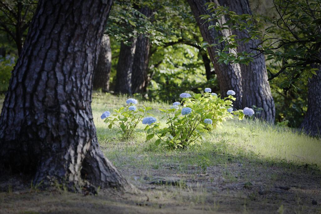 松の木と紫陽花