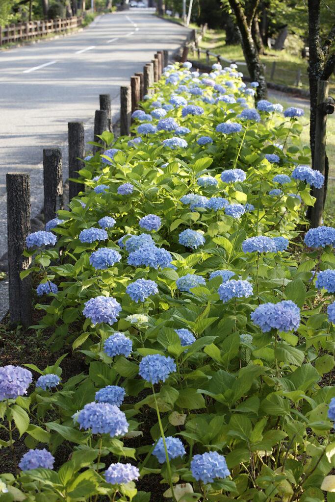 道路沿いの紫陽花畑