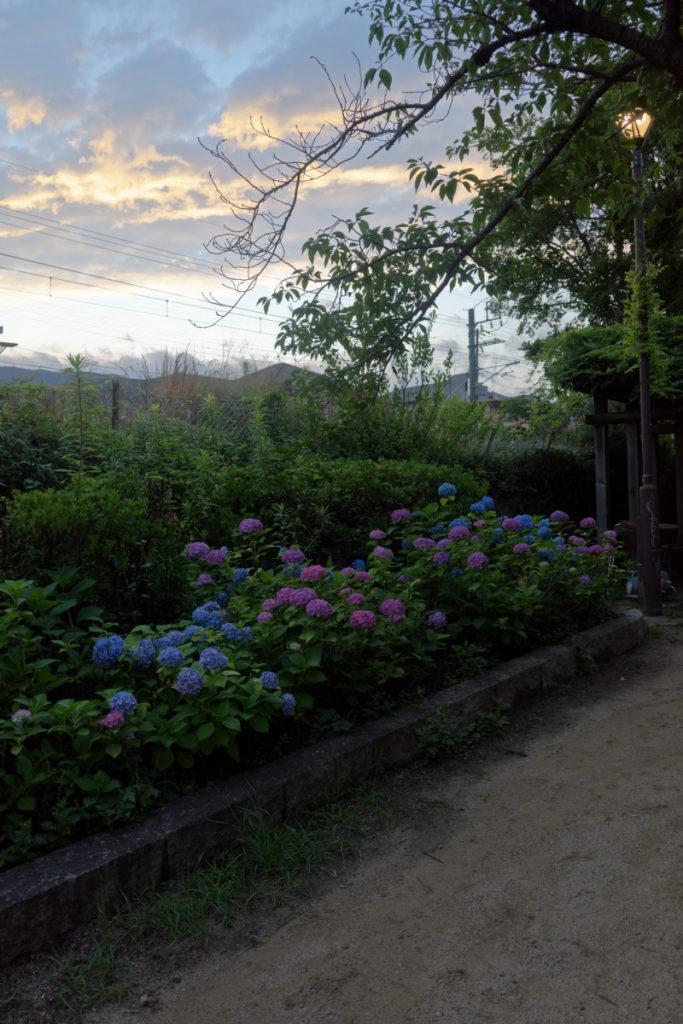 夕焼けと紫陽花