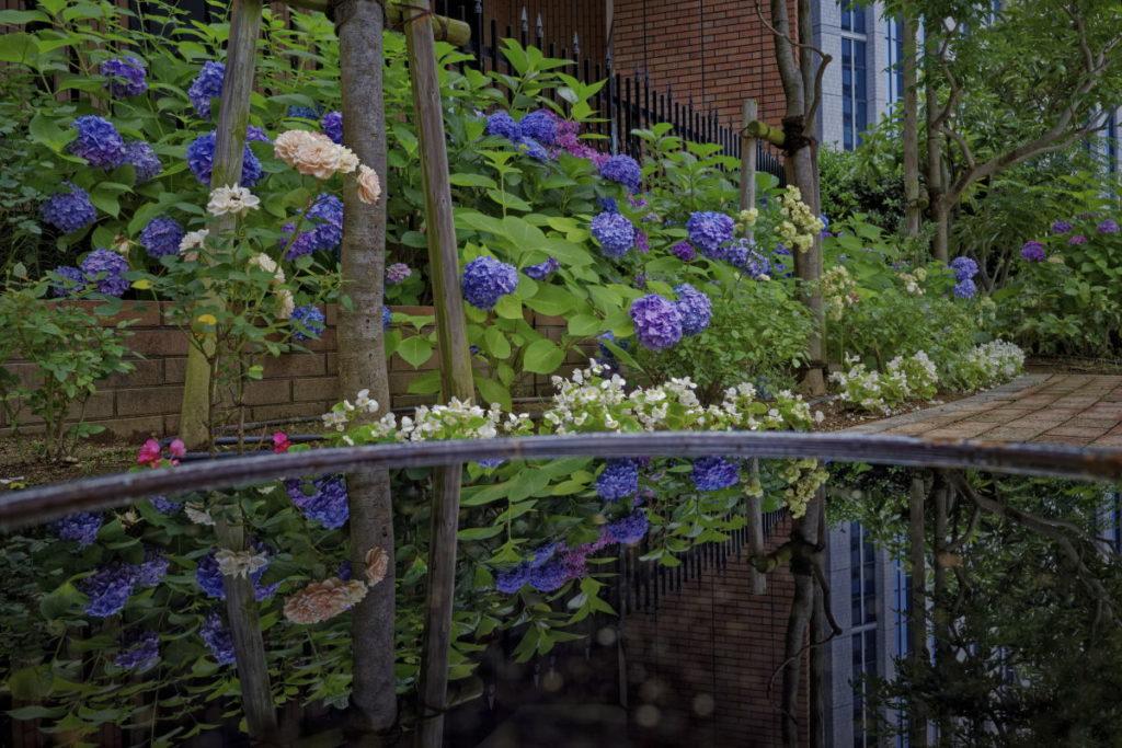 水たまりに映りこむ紫陽花 リフレクション 作例写真