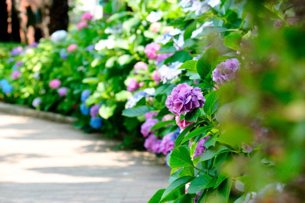 三宮・東遊園地の紫陽花