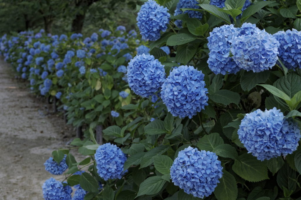 紫陽花の作例写真