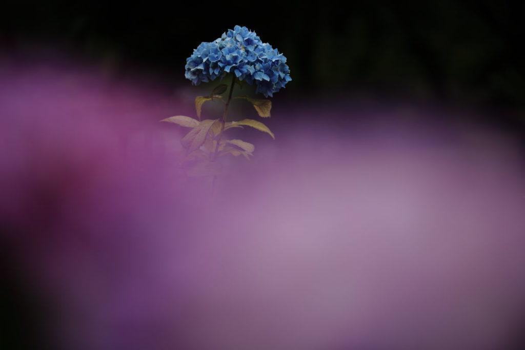 前ボケを入れた紫陽花 作例写真 あじさい
