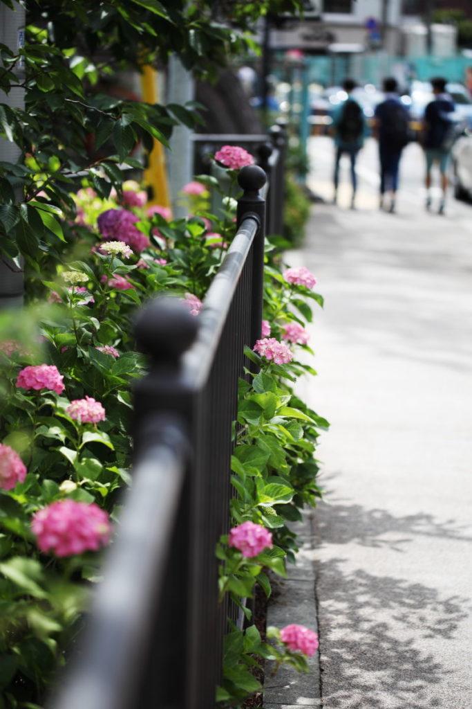 道端の紫陽花 作例写真