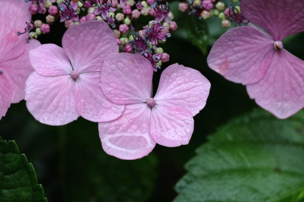 雨の日の紫陽花 作例写真