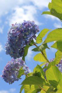 青空と紫陽花
