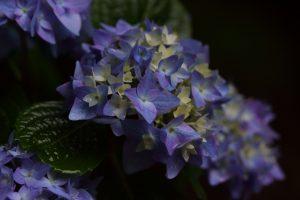 紫陽花 雨