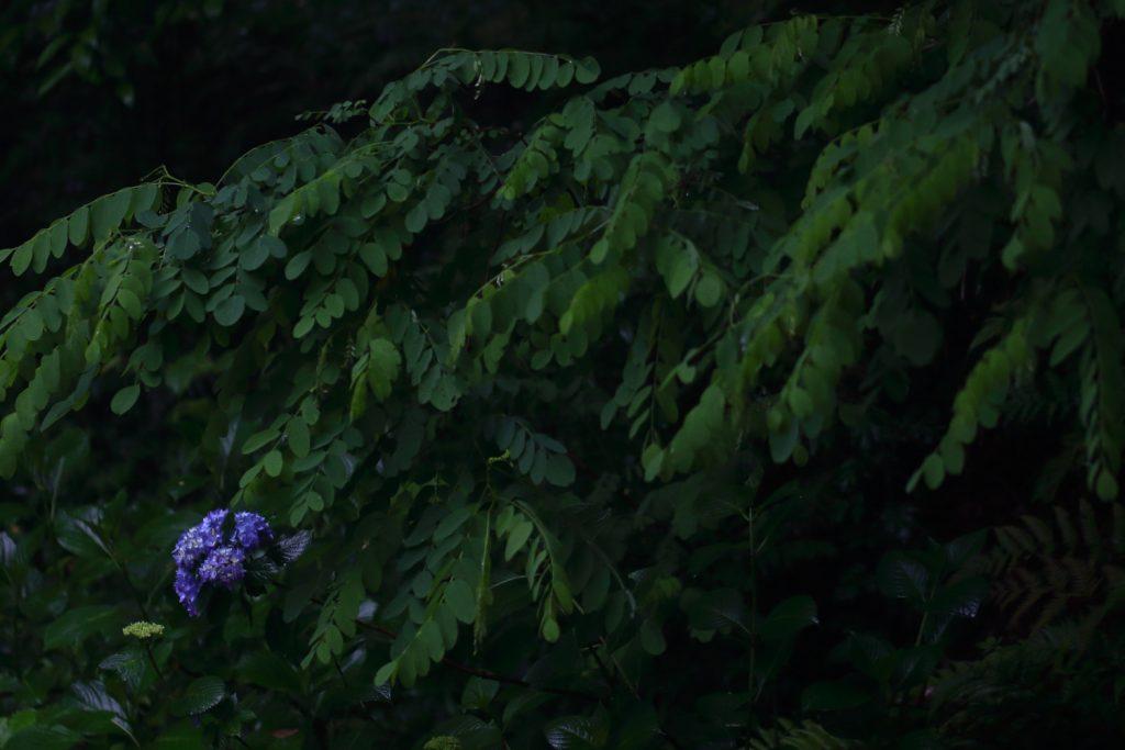 雨の日の紫陽花 ローキー