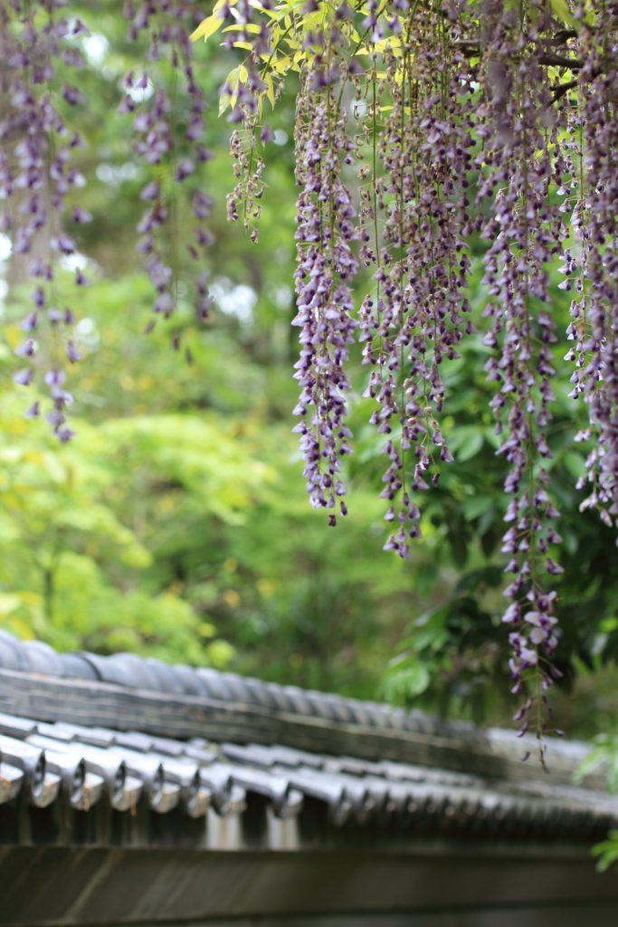 藤の花 住吉神社