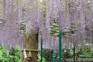 藤の花とご神木