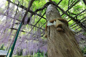 ご神木と藤の花 住吉神社