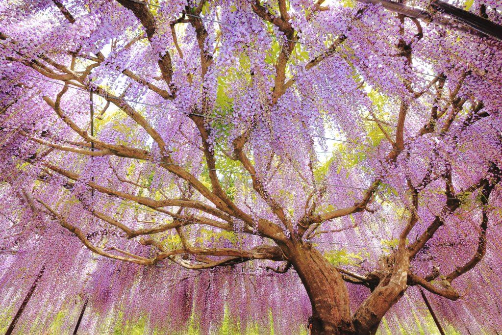 藤の花 超広角レンズで撮影