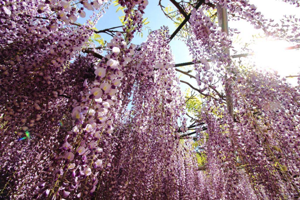 藤の花 見上げるように撮影