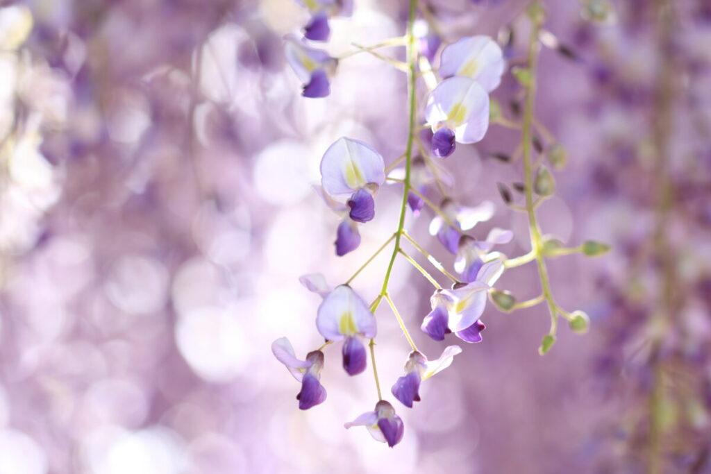 藤の花 タムロン90㎜ マクロレンズで撮影