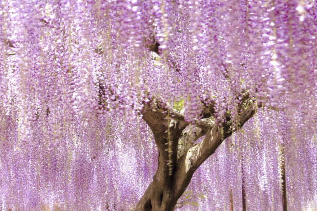 スローシャッターで揺れる藤の花