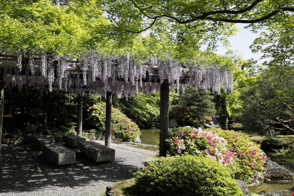 京都の城南宮の藤棚