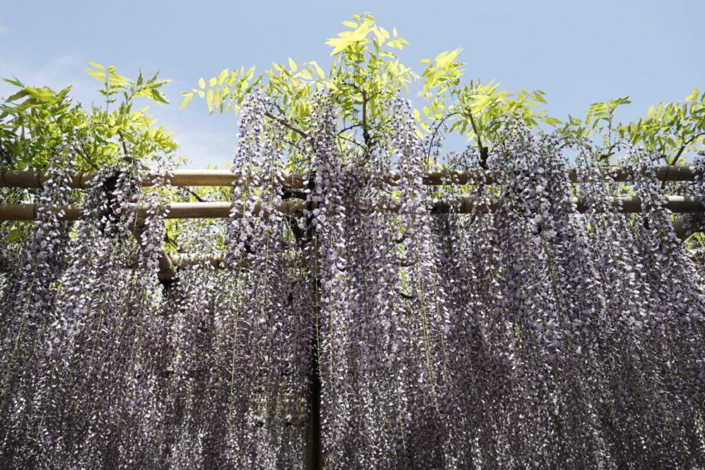 下から見上げる藤の花