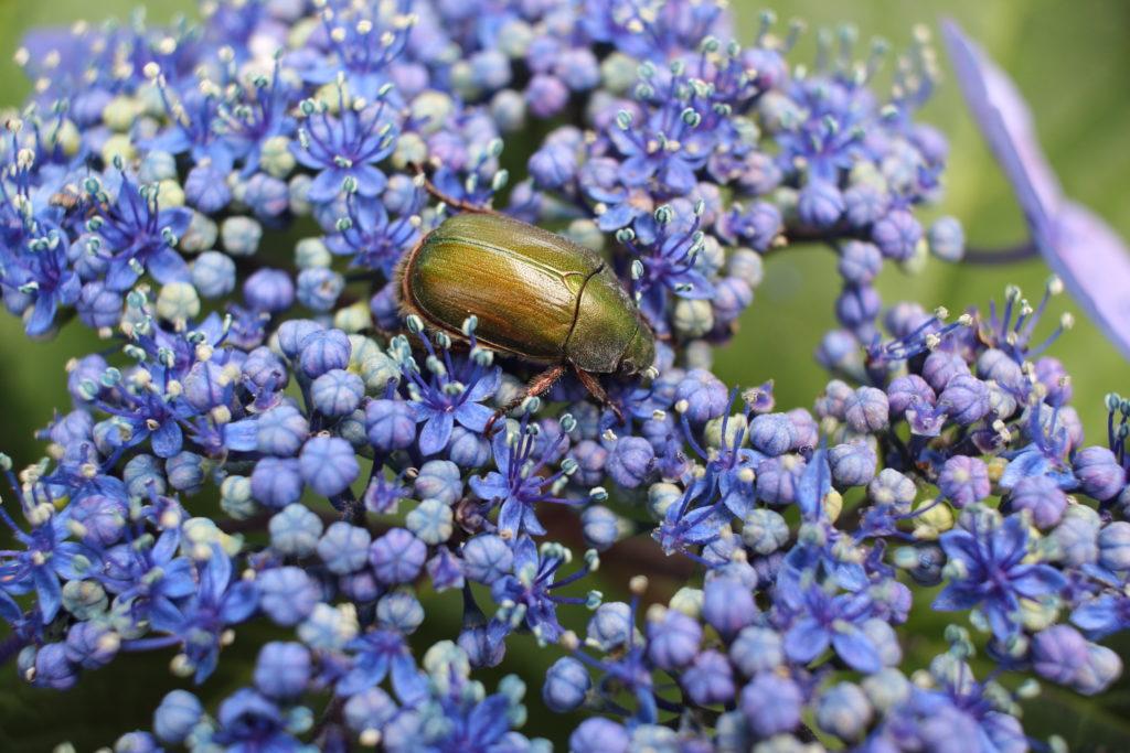 カナブンと紫陽花 マクロ 作例写真
