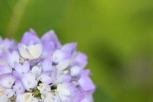 紫陽花を上から撮影