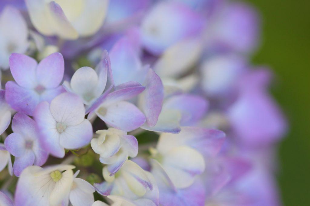 紫陽花 マクロ撮影