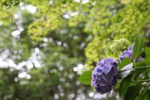 紫陽花 横から少しハイアングル気味に撮影