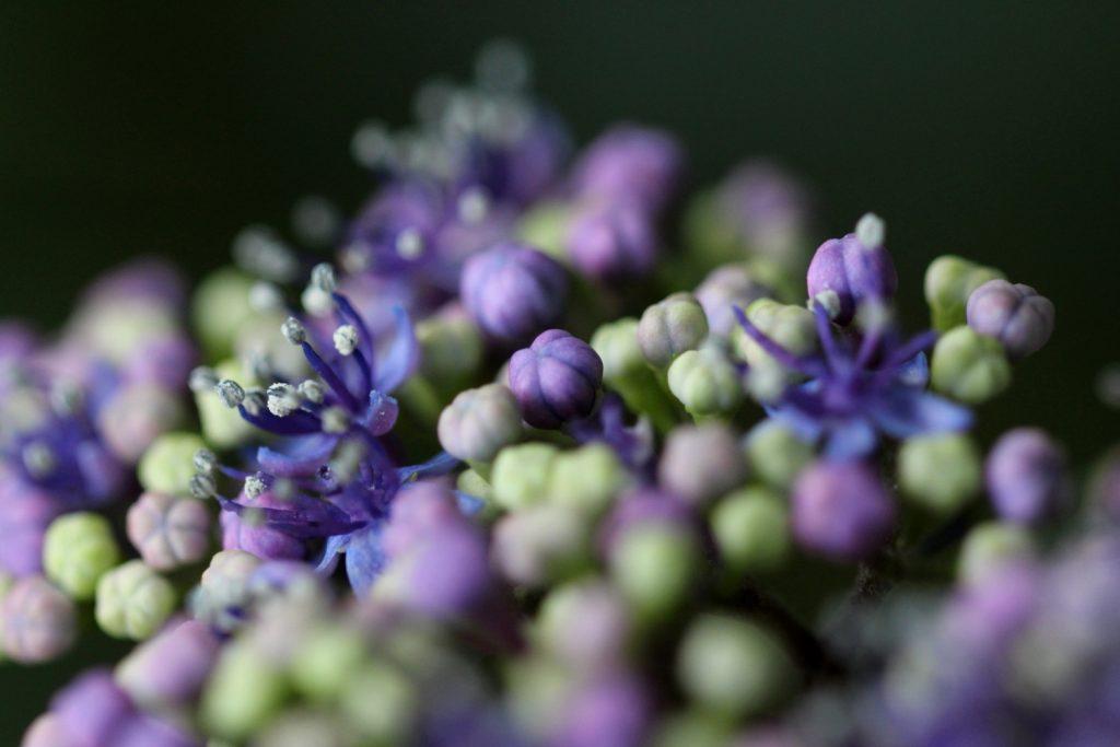 紫陽花 マクロ撮影コントラスト強め
