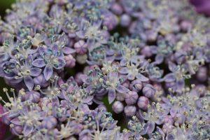 紫陽花の花 マクロ撮影
