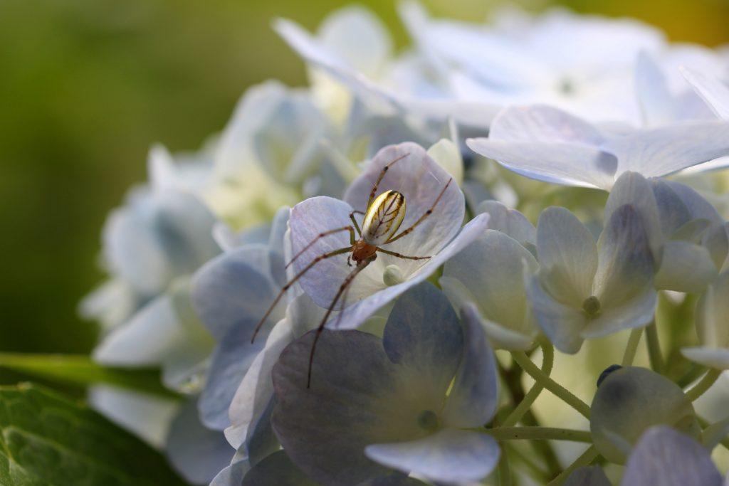 紫陽花と蜘蛛