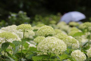 神戸市の花・アジサイの名所まとめ【神戸と近郊エリアで紫陽花が見事な場所】