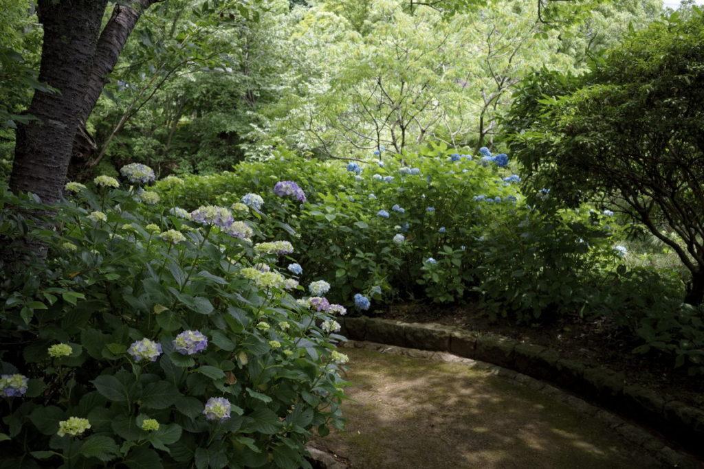 布引ハーブ園の紫陽花