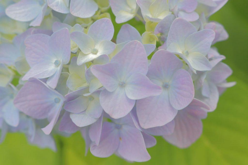 ゆるふわな紫陽花(あじさい)