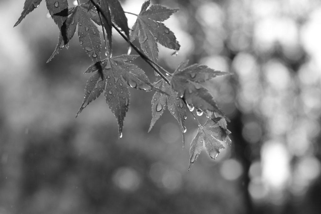 雨の日のもみじ