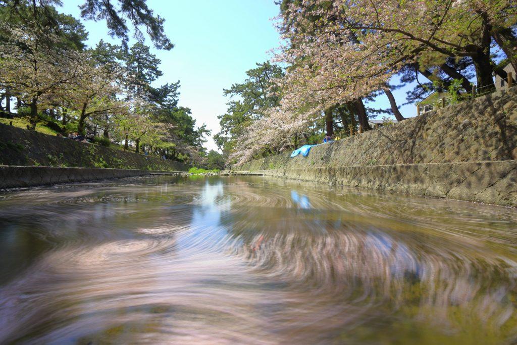 桜の花びらの流れ 夙川