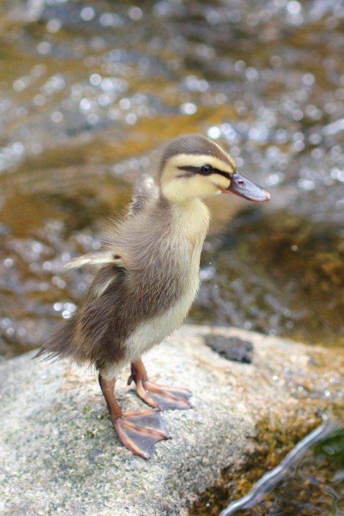 住吉川の鴨