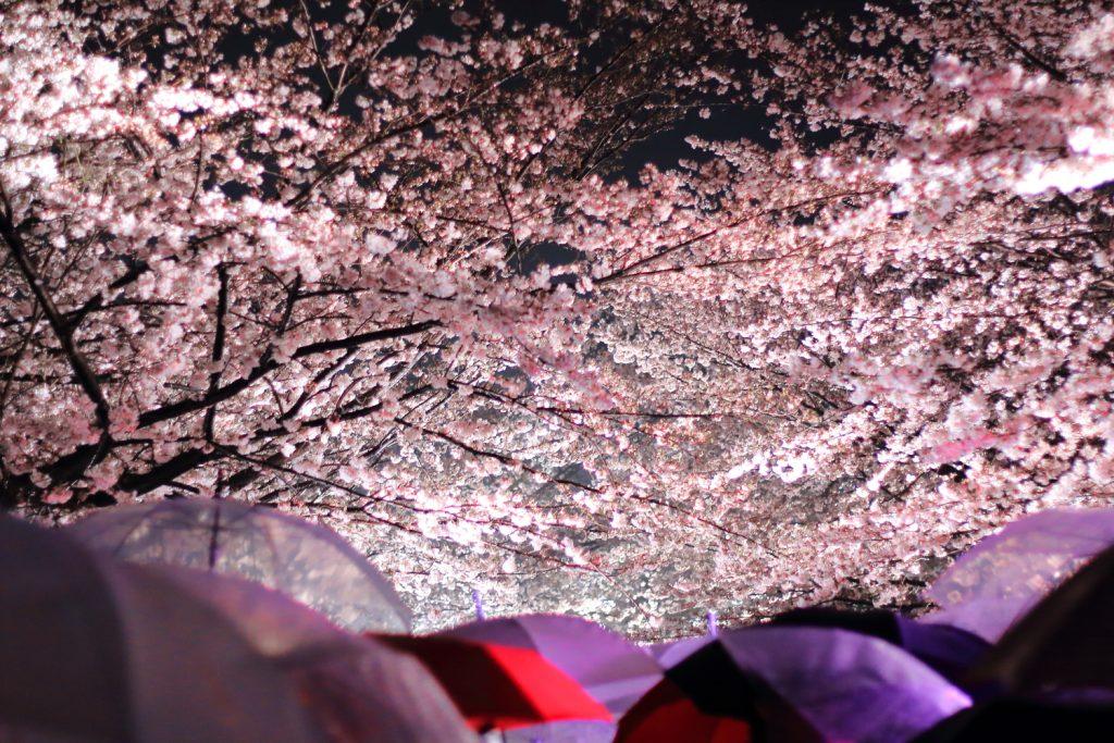 雨の日の夜桜見物