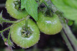 雨の日のトマト
