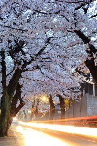 桜のトンネルとカーライト