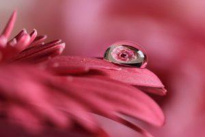 花としずくフォト 薔薇
