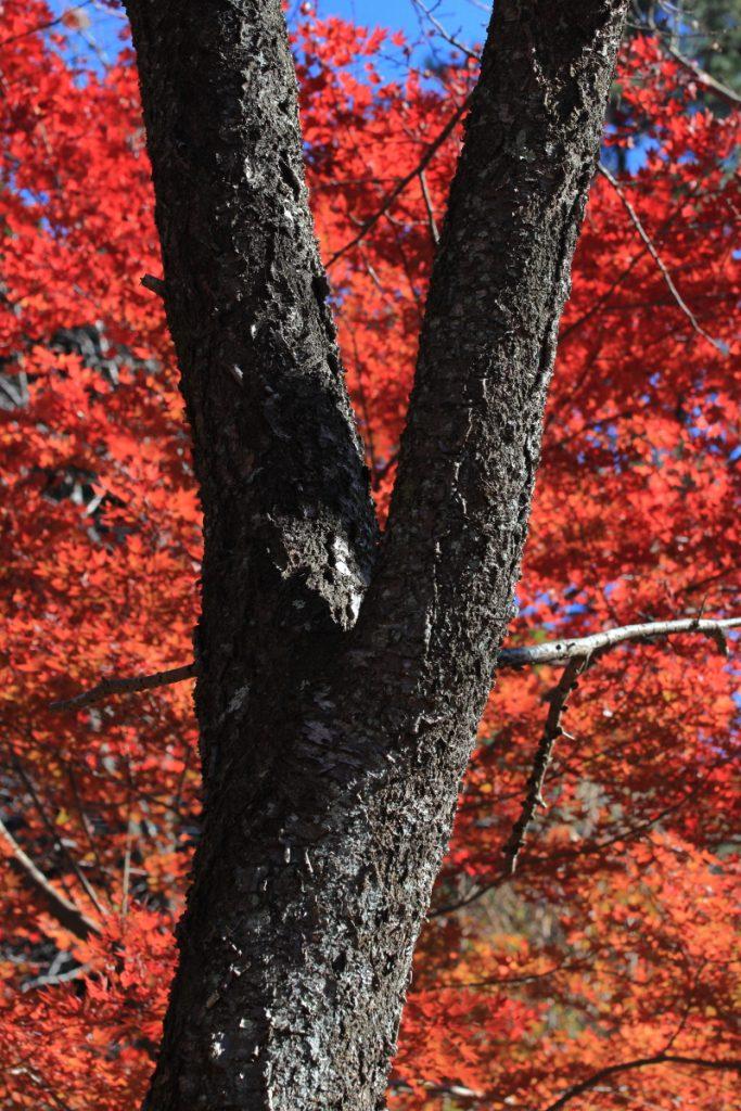 六甲高山植物園 紅葉