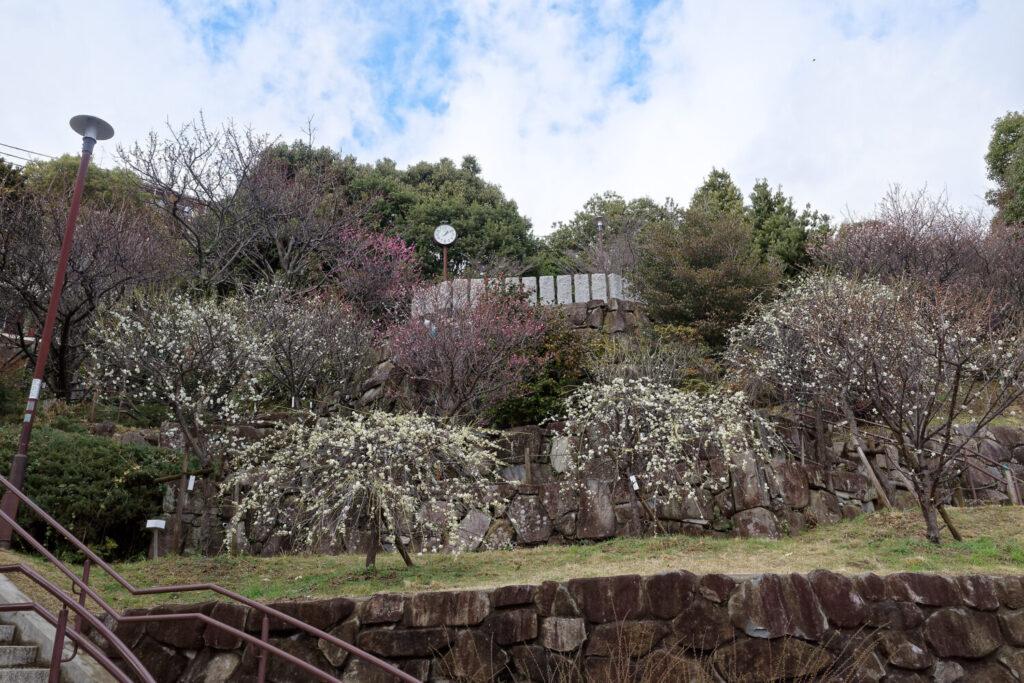 岡本梅林公園 2021年2月15日の梅の開花状況