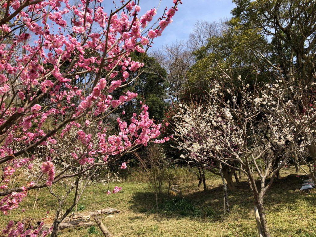 保久良梅林2018年3月7日の開花状況