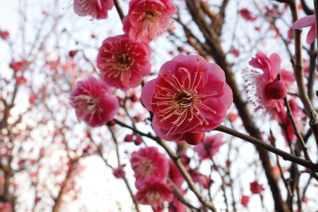 岡本梅林公園 2021年2月2日の梅の開花状況