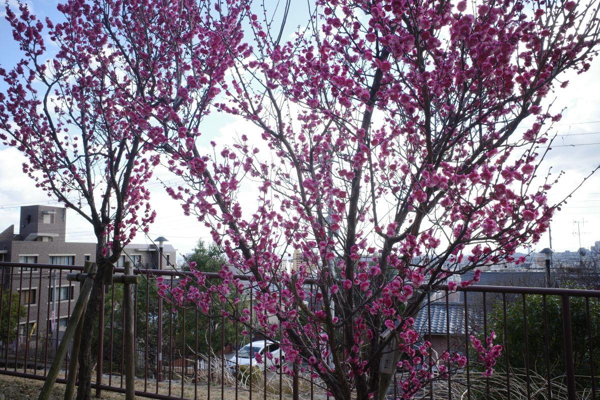 岡本梅林公園 2020年1月30日の梅の開花状況