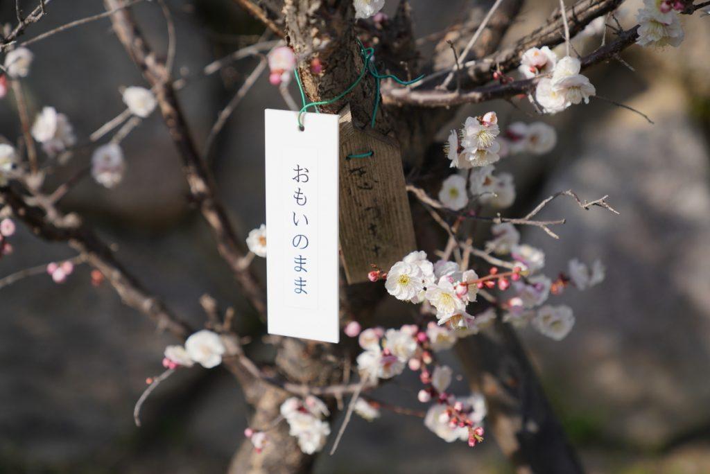岡本梅林公園2018年3月4日開花状況