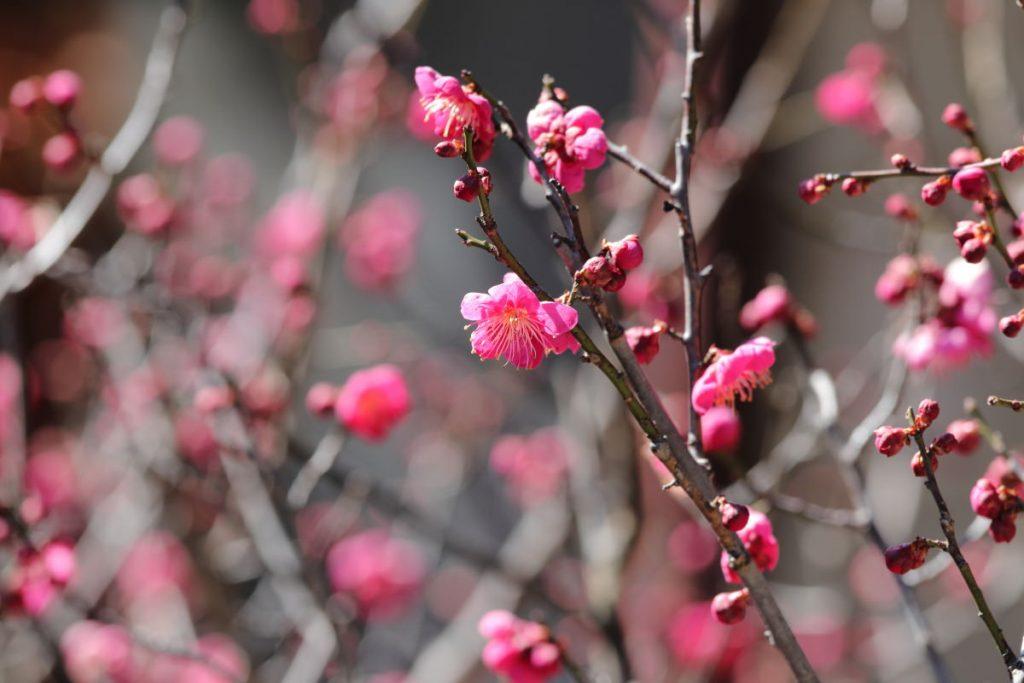 神戸の梅の名所・開花状況まとめ