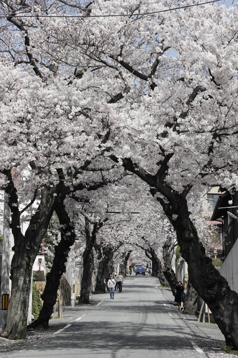 桜のトンネル 神戸市灘区 2021年3月29日