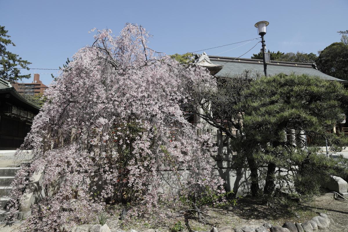 弓弦派神社の桜の開花状況 2021年3月31日