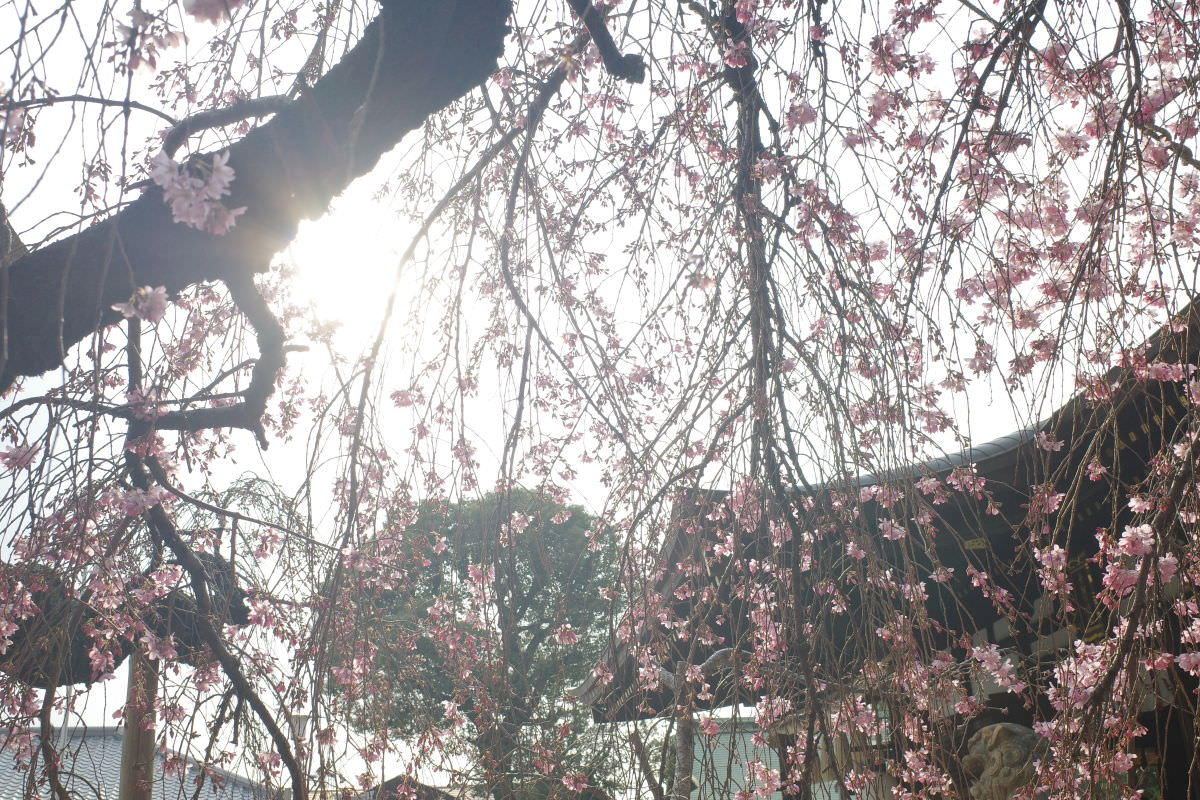 弓弦羽神社の桜の開花状況 2019年3月26日
